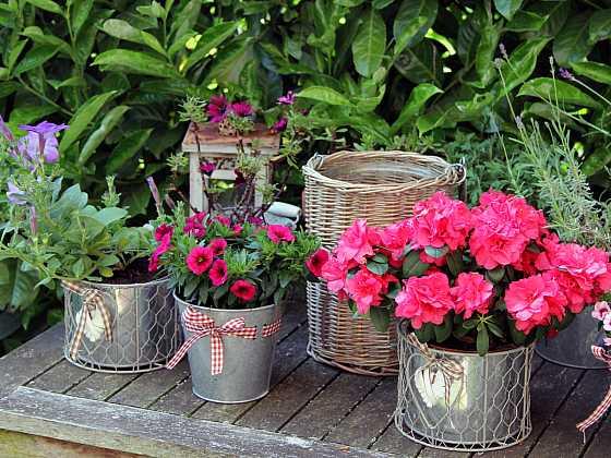 Rododendron na balkoně vyžaduje speciální péči (Zdroj: Depositphotos)