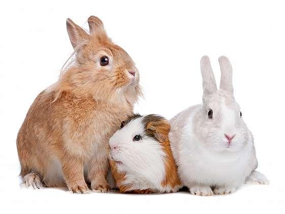Morčata a zakrslí králíčci nemusí bydlet jen doma v kleci, pobyt venku jim prospěje (Zdroj: Depositphotos (https://cz.depositphotos.com))