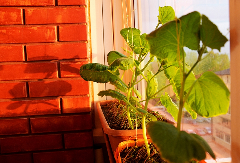 Pěstování okurek za oknem