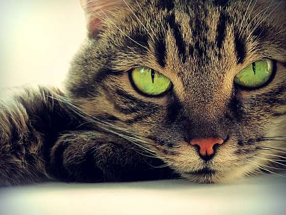 Chraňte vaši kočičku před parazity (Zdroj: Depositphotos)