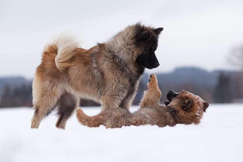 Psi ve sněhu