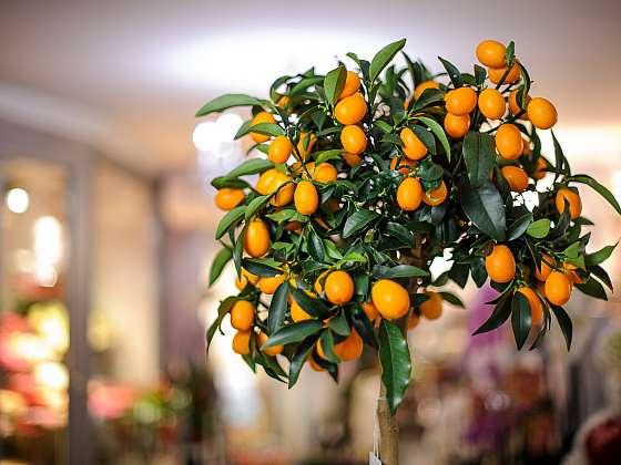 Pokojové citrusy vám dají nejen plody, ale také provoní vzduch (Zdroj: Depositphotos (https://cz.depositphotos.com))